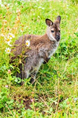 Fototapete Kanguroo