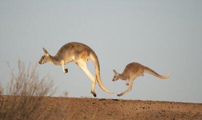 Fototapete Kängurus im Sturt Nationalpark, New South Wales, Australien