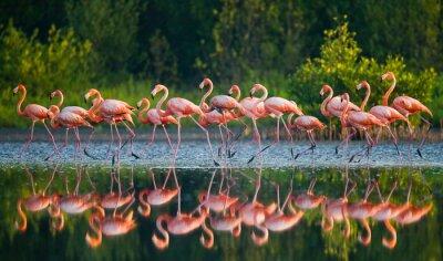 Fototapete Karibik Flamingo, der im Wasser mit Reflexion. Kuba. Eine ausgezeichnete Darstellung.