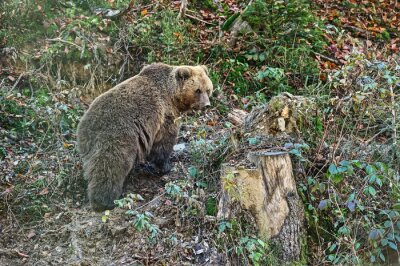 Fototapete Karpaten Braunbär