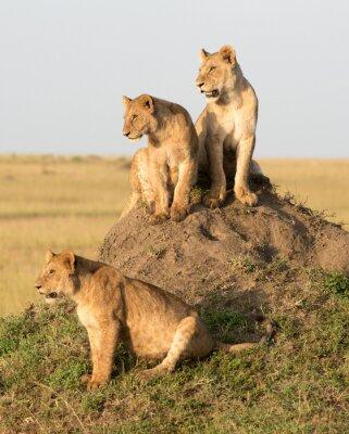 Fototapete Kenia, Afrika, Masai Mara Reserve, weiblicher Löwe mit Jungen.