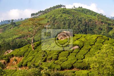 Kerala Munnar Teeplantage