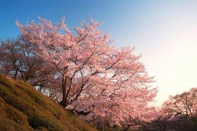 Fototapete Kirschblüten bei Kiyomizu-dera, Kyoto, Japan