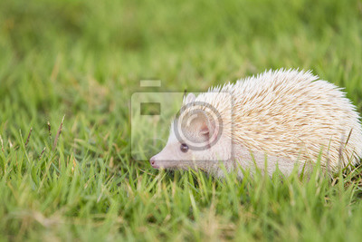 Fototapete Kleine Igel Im Grünen Gras