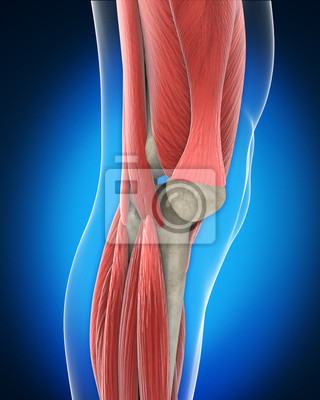 Knie-anatomie fototapete • fototapeten Meniskus, belasten, xray ...