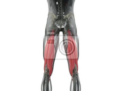 Groß Muskelsystem Anatomie Bilder - Anatomie und Physiologie des ...