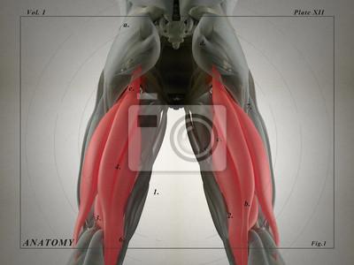 Tolle Muskelsystem Interaktiv Fotos - Anatomie und Physiologie des ...
