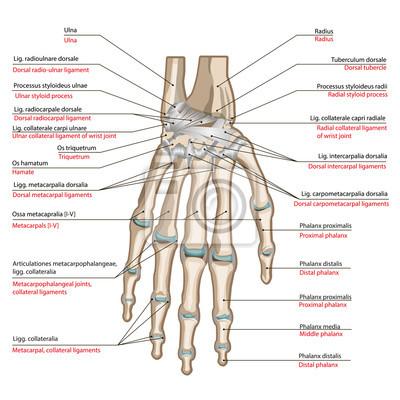 Knochen und bänder der rückseite der hand fototapete • fototapeten ...