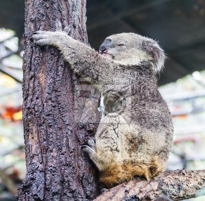 Koala-Bär auf einem Baumstamm schlafen