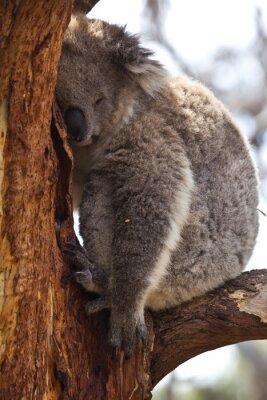 Fototapete Koala während des Tages schlafen