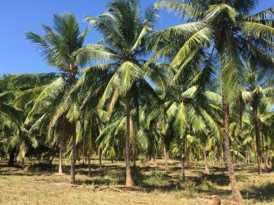 Fototapete Kokosnussbäume