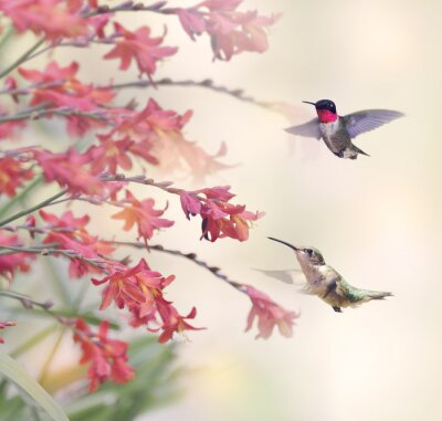 Fototapete Kolibris und rote Blumen