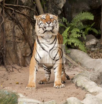 Königlicher Bengal-Tiger