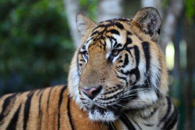 Fototapete Königlicher Bengal-Tiger