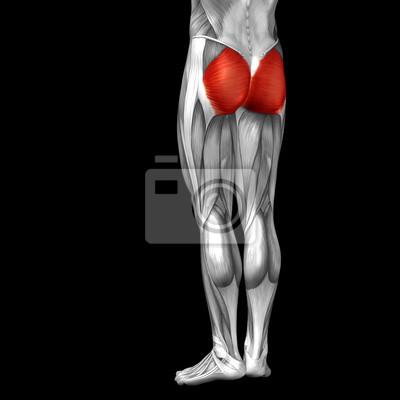 Konzeptionelle 3d menschlichen zurück oberschenkel muskel anatomie ...