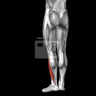 Konzeptionelle 3d menschlichen zurück unterschenkel muskel anatomie ...