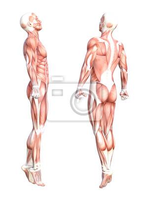 Konzeptionelle anatomie gesunden, hautlosen menschlichen körper ...
