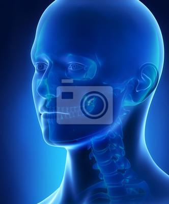 Kopf und schädel anatomie fototapete • fototapeten ...
