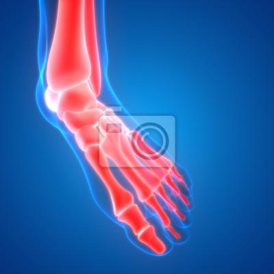 Körperknochen gelenkschmerzen anatomie (fuß gelenke) fototapete ...