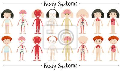 Körpersystem von Jungen und Mädchen