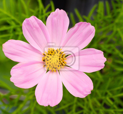 Kosmos blume fototapete • fototapeten Blütenblätter, Kosmos, blühen ...