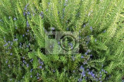 Kräuter Pflanze Zu Hause Gewachsen Rosmarin Mit Blau Lila Blüten