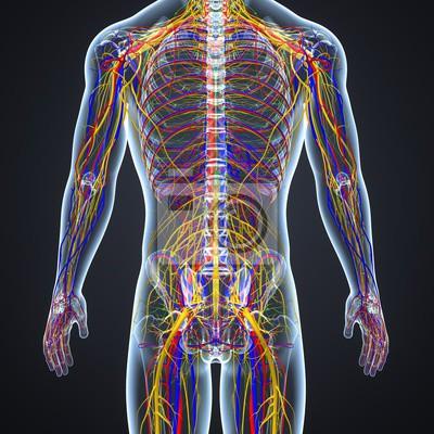 Kreislauf- und nervensystem mit lymphknoten fototapete • fototapeten ...