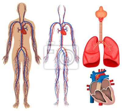Kreislaufsystem im menschlichen körper fototapete • fototapeten dass ...