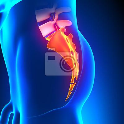 Kreuzbein steißbein knochen anatomie fototapete • fototapeten ...