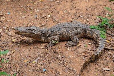 Krokodil zu Fuß auf den Boden.