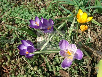 Krokus Oder Safran Im Garten Die Ersten Blumen Im Fruhling