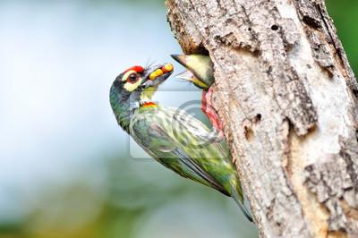 Kupferschmied Barbet Vogel