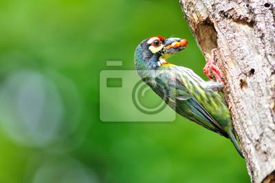 Kupferschmied Barbet Vogel füttert ihr junge