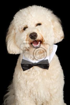 Fototapete Labradoodle Dog Wearing Bow Tie