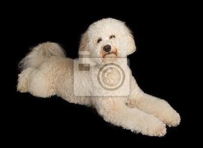 Fototapete Labradoodle Hundeniederlegung auf Schwarz