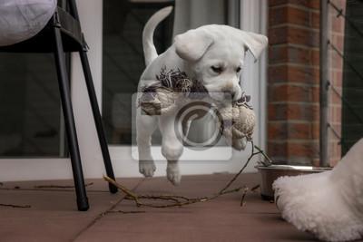 Labrador Hund Welpe springt mit Spielzeug im Mund