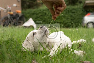 Labrador Hund Welpe süß auf Wiese