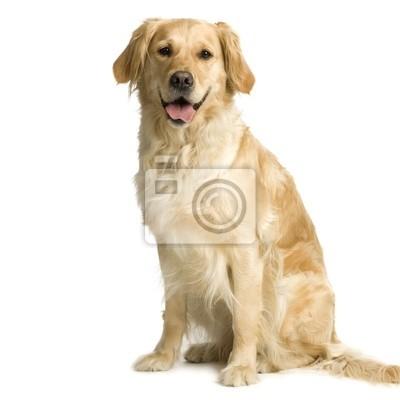 Fototapete Labrador Retriever Creme vor weißem Hintergrund