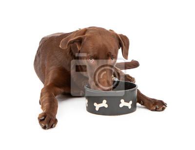 Fototapete Labrador Retriever Puppy Drinking Water