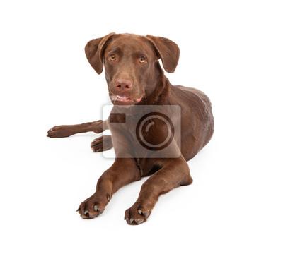 Fototapete Labrador Retriever Puppy Looking At Camera