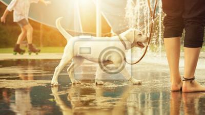 Labrador retriever Welpe glücklich vor Wasserfontänen an der Leine