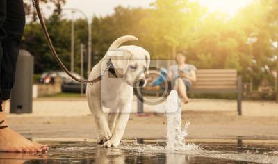 Labrador retriever Welpe schaut neugierig auf einem Wasserstrahl im Park während eines Spaziergangs an der Leine