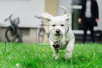 Labrador Welpe am Laufen