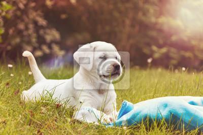 Labrador Welpe auf einer Wiese