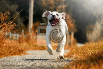 Labrador Welpe bei Sonnenschein auf einem Weg in voller Geschwindigkeit mit heraushängender Zunge