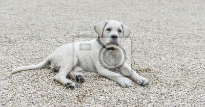Labrador Welpe liegt auf dem Boden und schaut ein treu entgegen