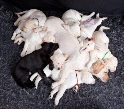 Fototapete Labrador Welpen schlafen mit seiner Mutter