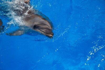 Fototapete Lächelnd Delphin. Delphine schwimmen im Pool