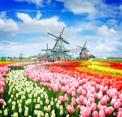 Fototapete landscape with traditional Dutch windmills of Zaanse Schans and rows of tulips, Netherlands, retro toned