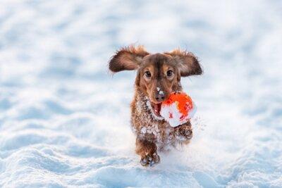 Fototapete Langhaariger Dackel Hund rote Farbe läuft mit dem Ball in den Mund mit dem Schnee